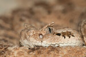Desert Snake close-up portrait